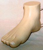 medical model of a foot for a podiatrist